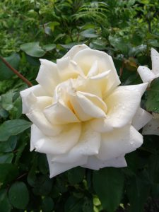 Ambiente, Edel-Rose, weiß