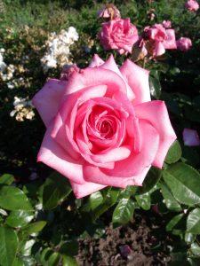 'Wedding Bells' öffnende Blüte von oben