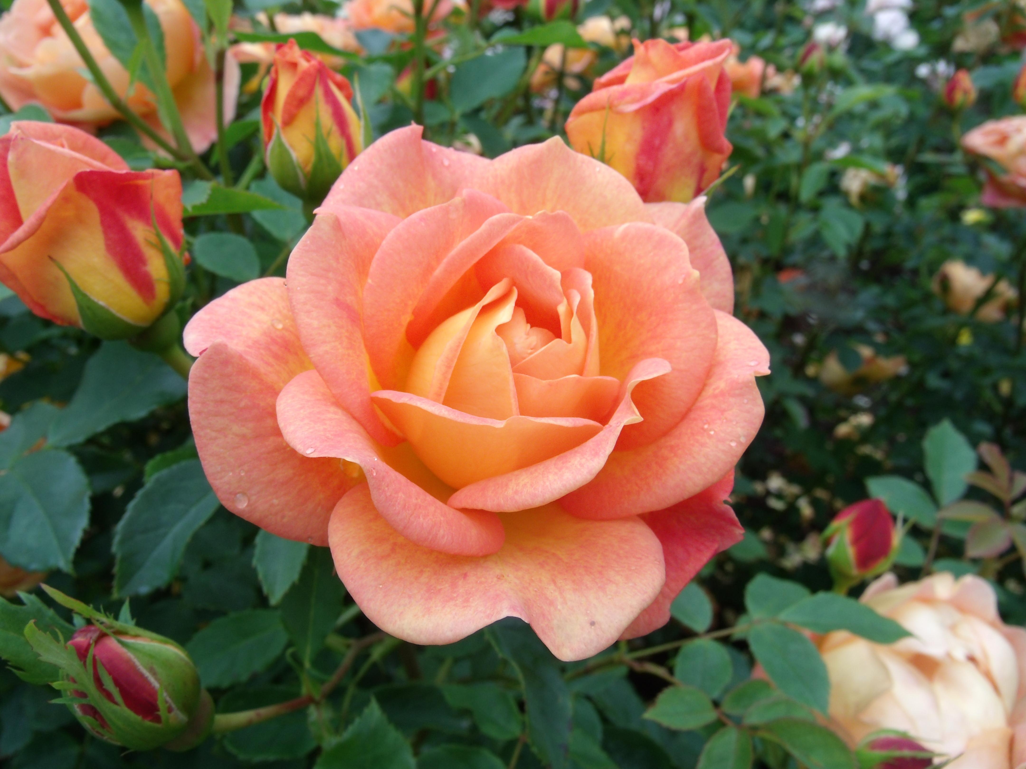 Blüte der Rosensorte 'Lady of Shalott'