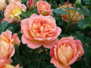 Strauch-Rose 'Lady of Shalott'