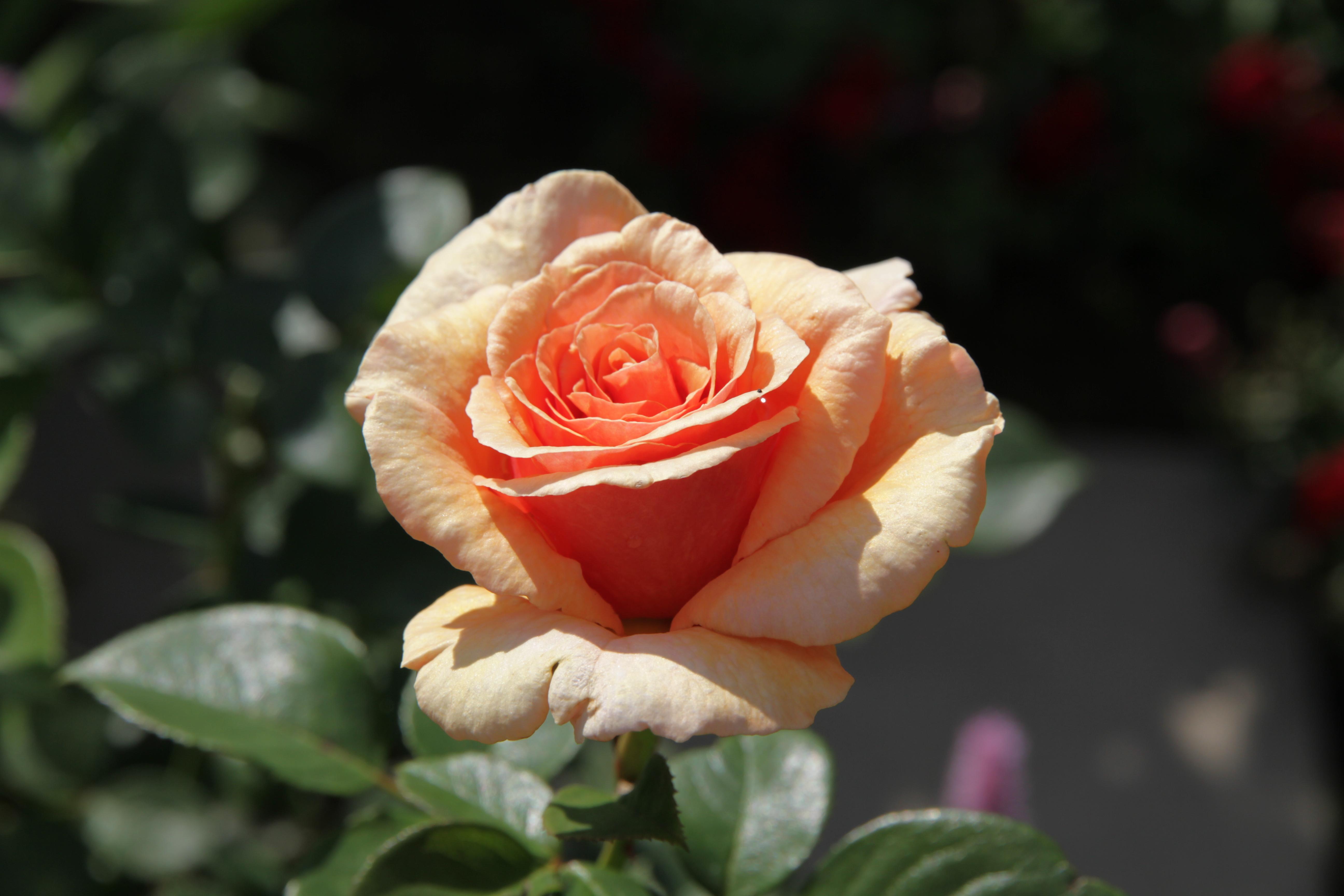 Paco Rabanne, apricot, halb geöffnete Blüte