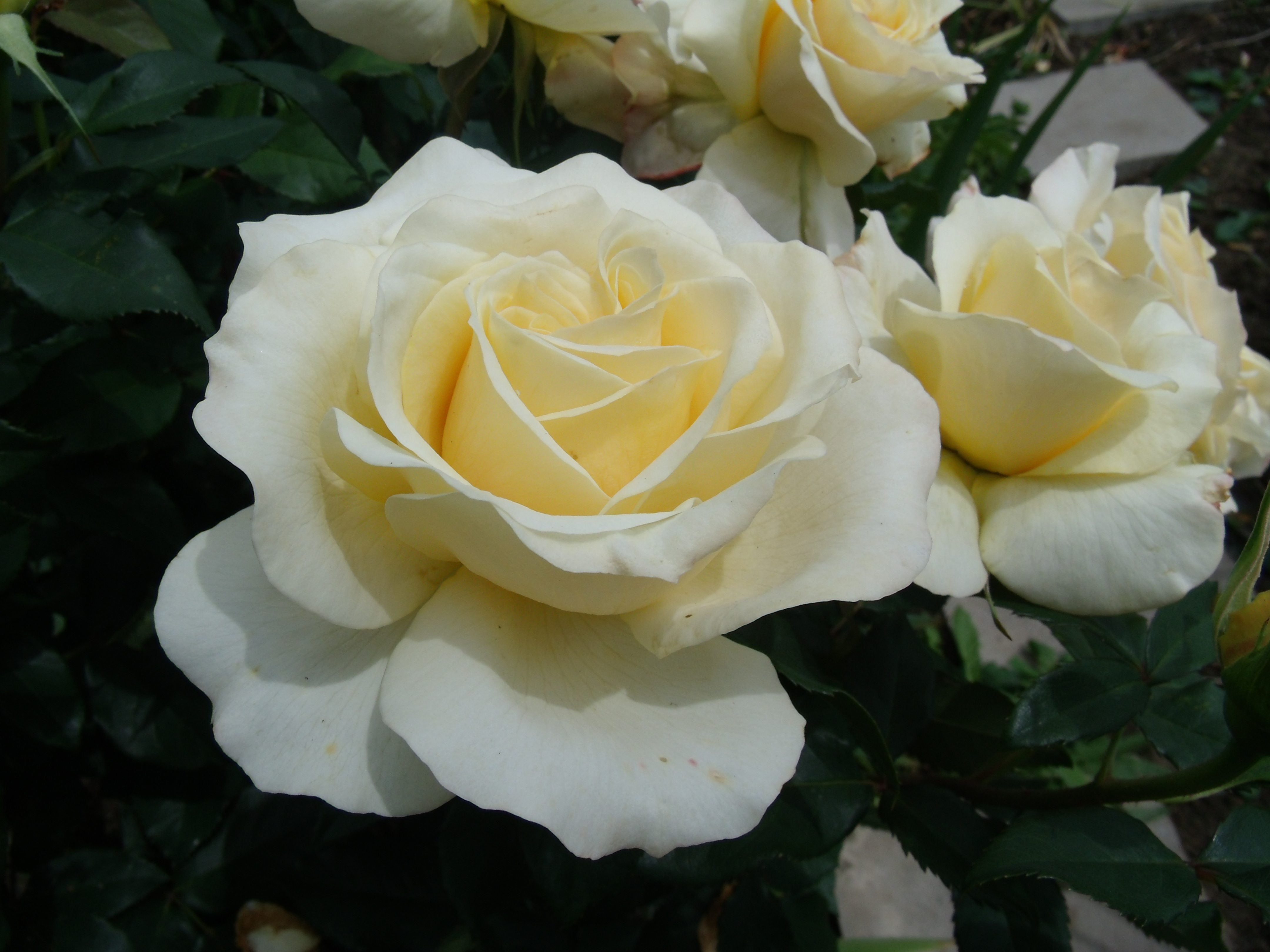'Sunny Sky', Edelrose, offene Blüte