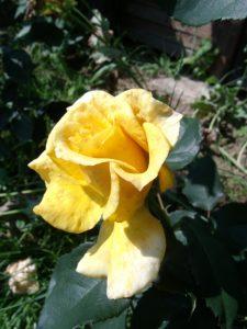 'Sunny Sky', tiefgelbe Blüte