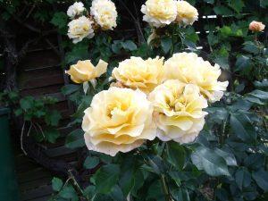 'Sunny Sky', Blütenbüschel