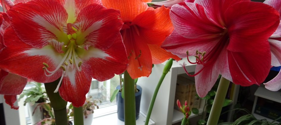 Hippeastrum Blüten Gruppe