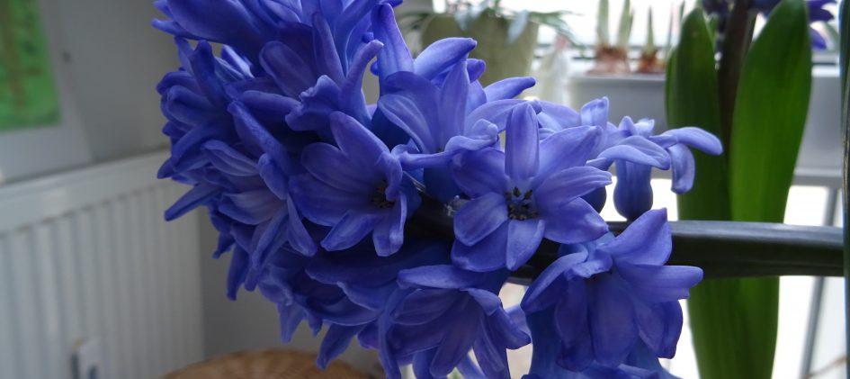 Blütenstand Hyazinthe