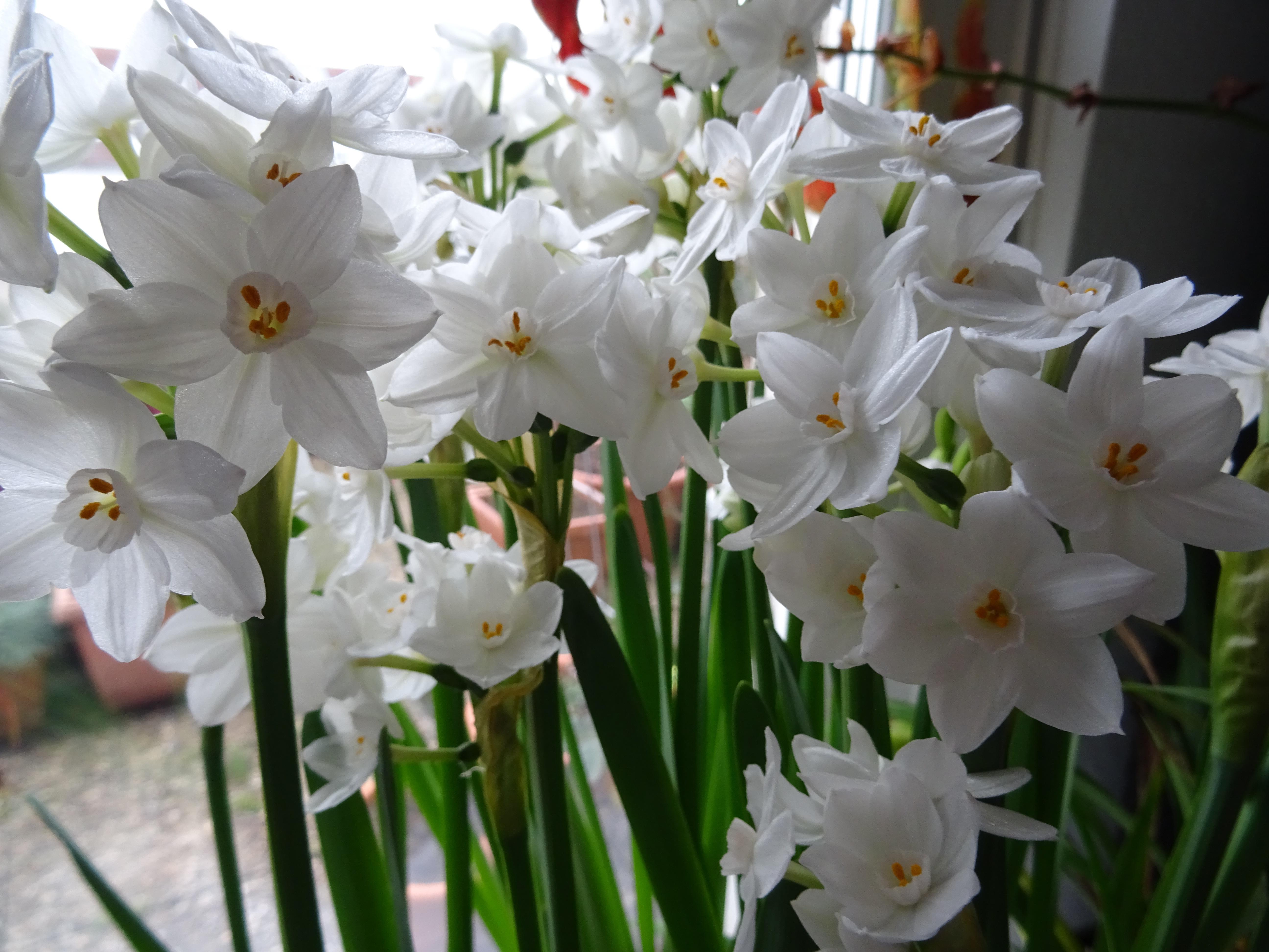 narcissus tazetta 'Ziwa' Blütengruppe