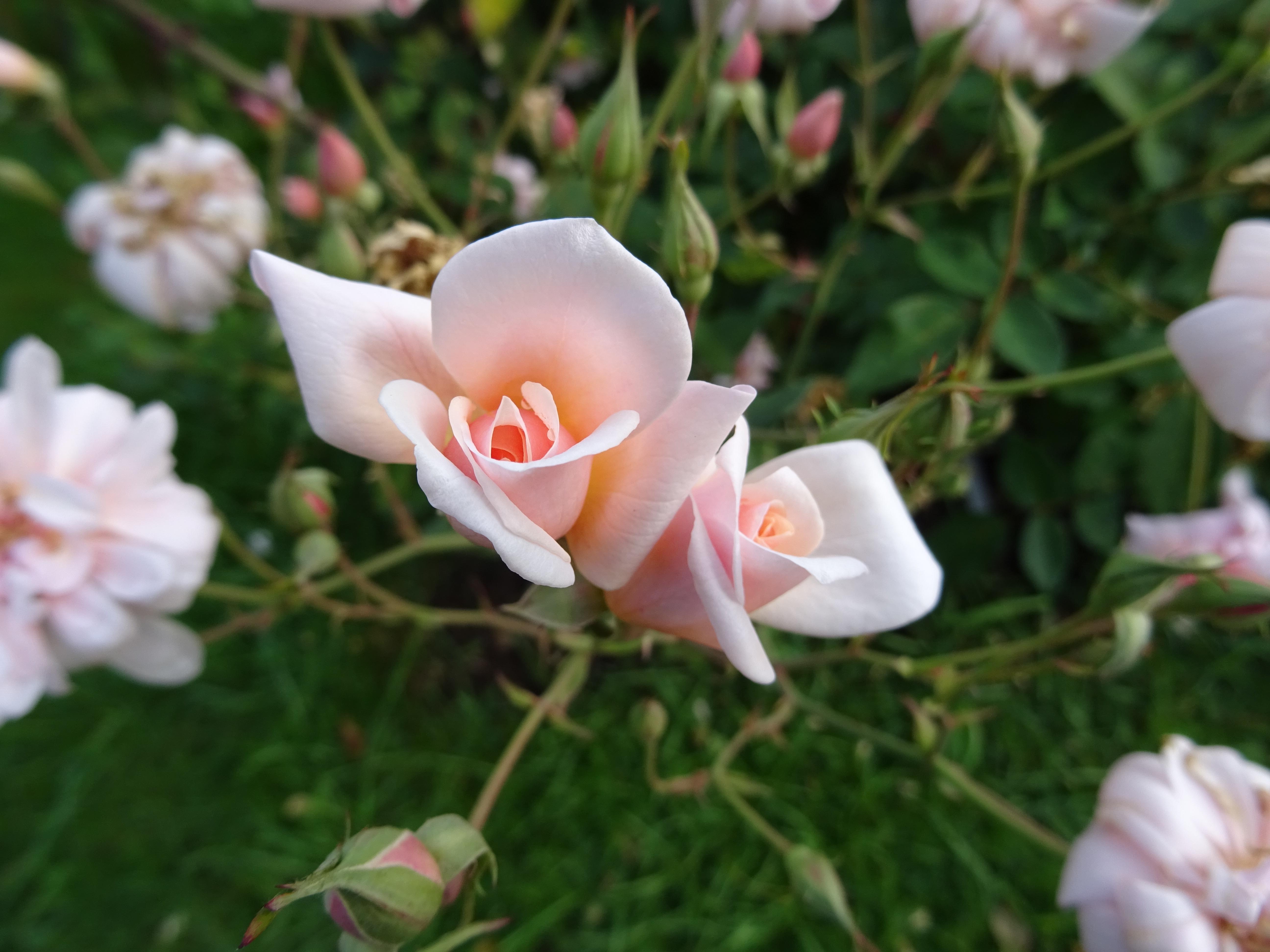 Perle d'Or, China-Rose