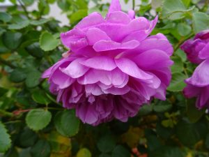Strauchrose Princess Anne