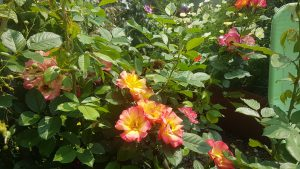 Beet-Rose Summer of Love