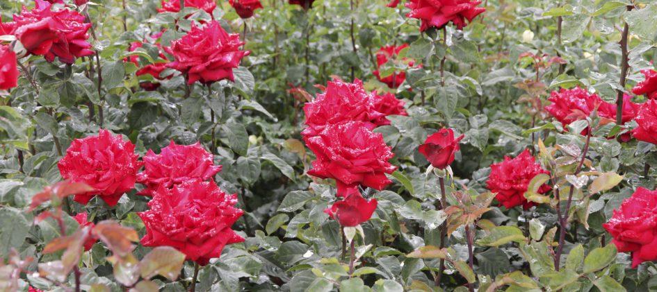 Edelrose, Grande Amore, Gartenrose, Beet