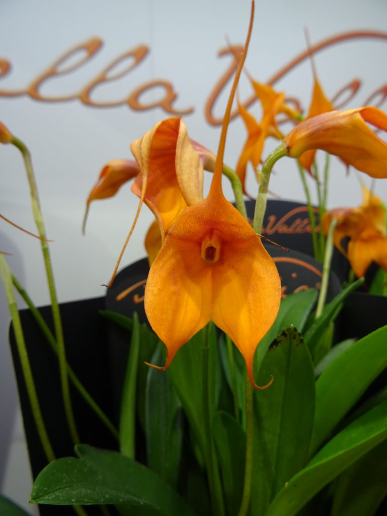 Bellavallia Blüte