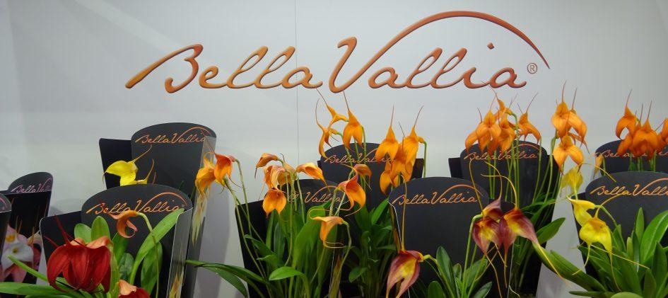 Bellavallia Präsentation