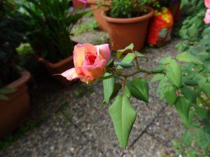 Clementina Carbonieri, Tee-Rose, Knospe