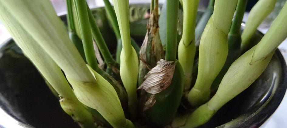 Pseudobulben, Dendrochilum glumaceum