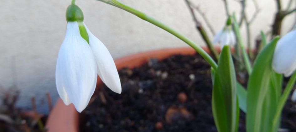 Galanthus elwesii, Schneeglöckchen