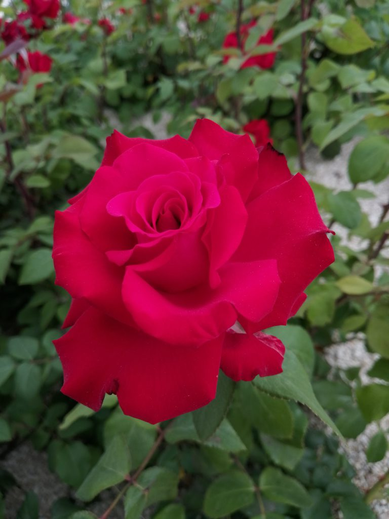 Rose Grande Amore Einzelblüte