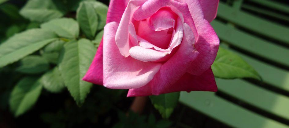 Maman Cochet, Tee-Rose, Teerose, Alte Rose, Historische Rose, Kübelrose