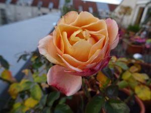 Beet-Rose Marie Curie im Dezember
