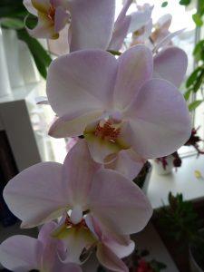 Phalaenopsis zartrosa