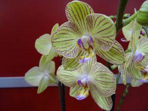 Phalaenopsis gelb-gestreift