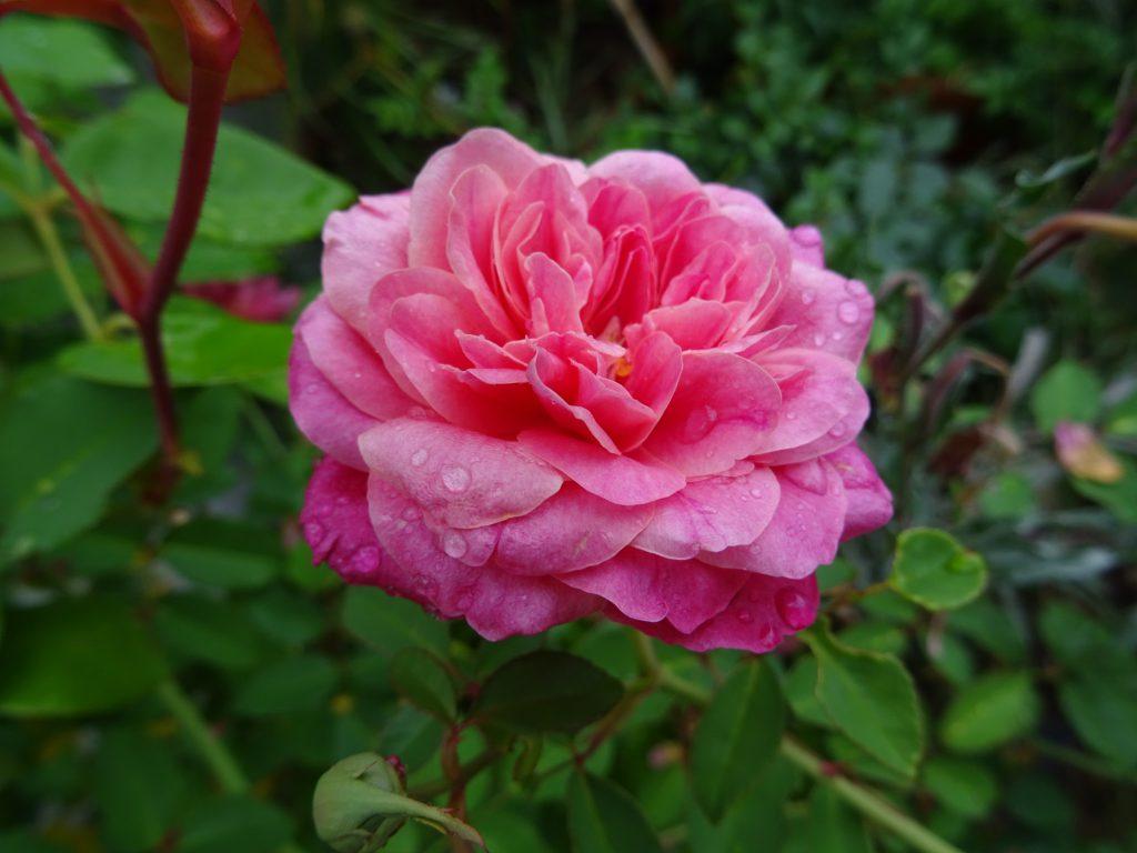 Archiduc Joseph, Tee-Rose