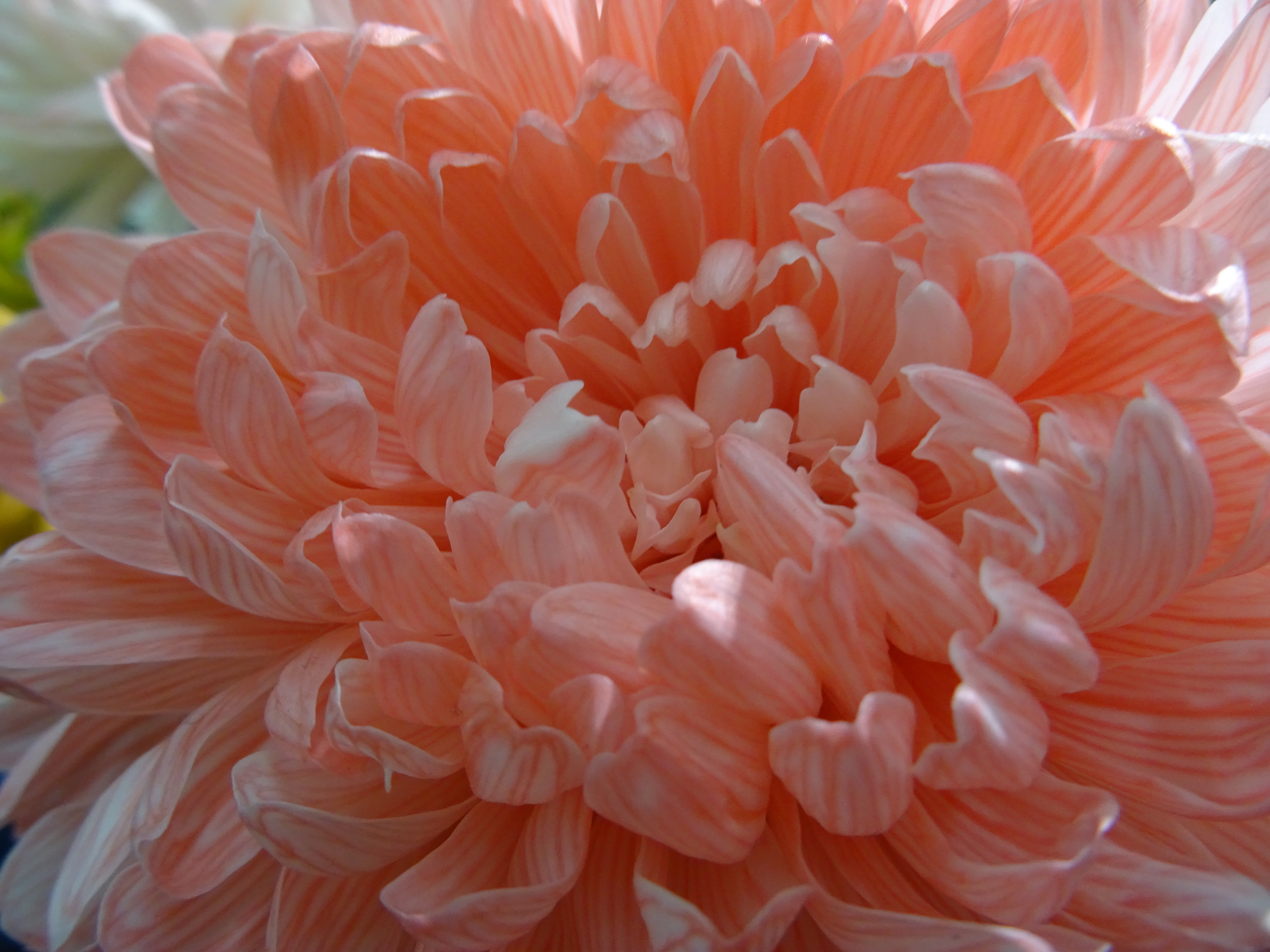 Chrysantheme, rosa, Farbe des Jahres Living Coral