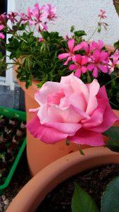 Maman Cochet, Mrs Morgan's Delight, Tee-Rose