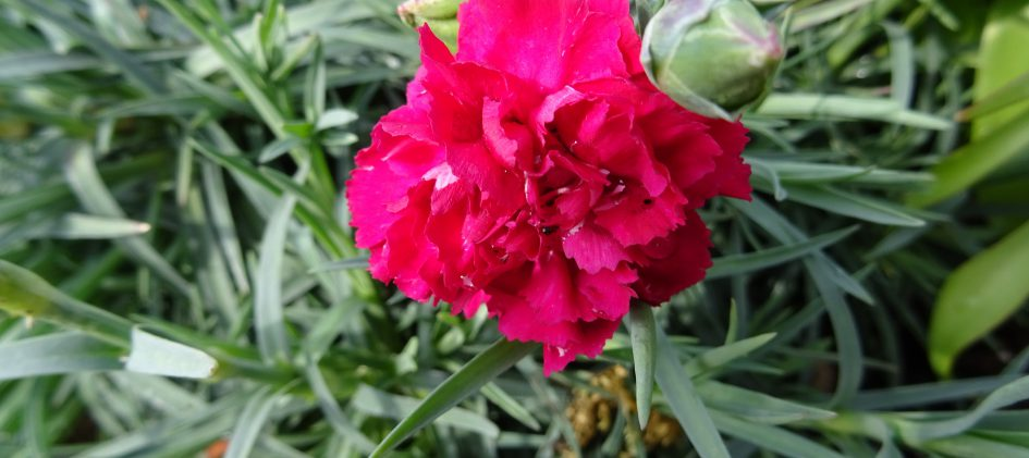 Dianthus Devon-Cottage rot