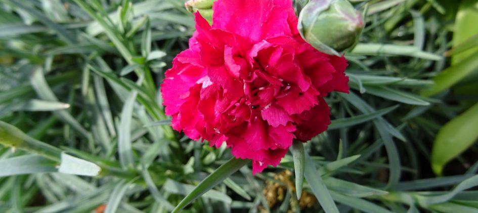 Dianthus Devon-Cottage rot