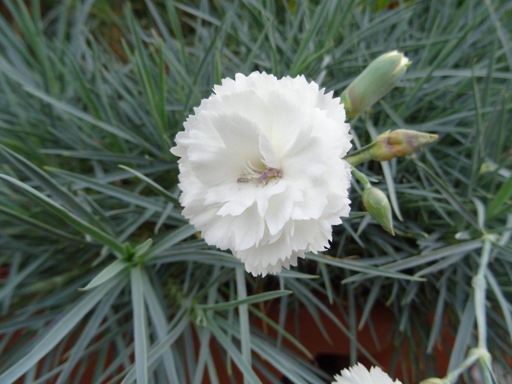 Dianthus Devon-Cottage weiss