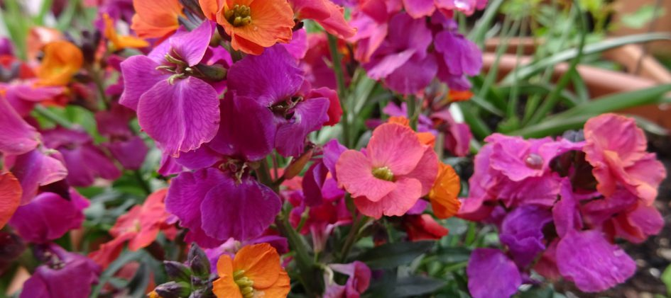 Erysimum mehrfarbig Blüten