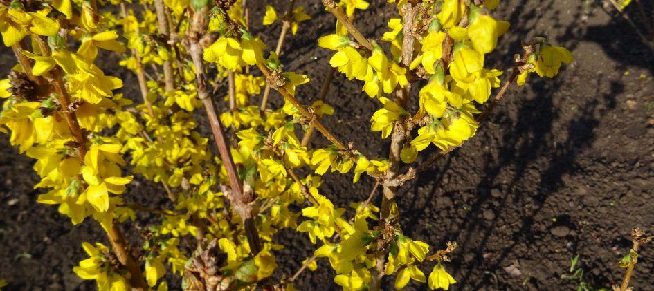 Forsythienblüte, Erstfrühling, Rosenschnitt