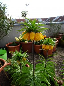 Fritillaria imperialis Striped Beauty Gruppe