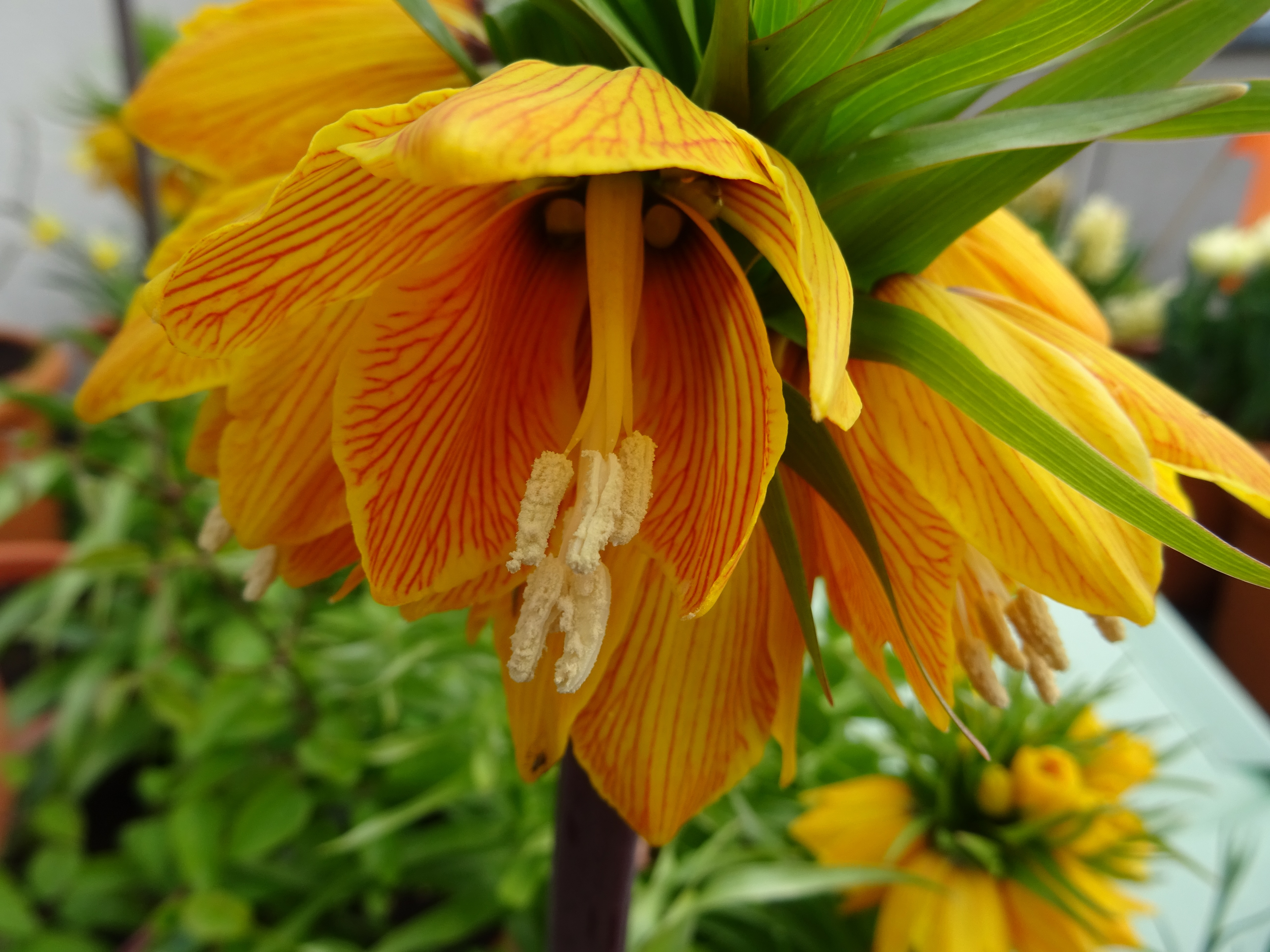 Fritillaria imperialis Striped Beauty Einzelblüte