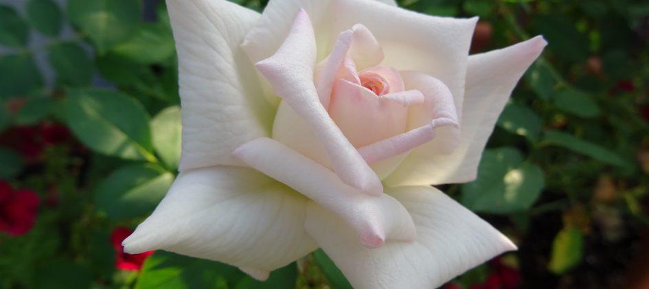 Leading Lady, Edelrose, Blüte
