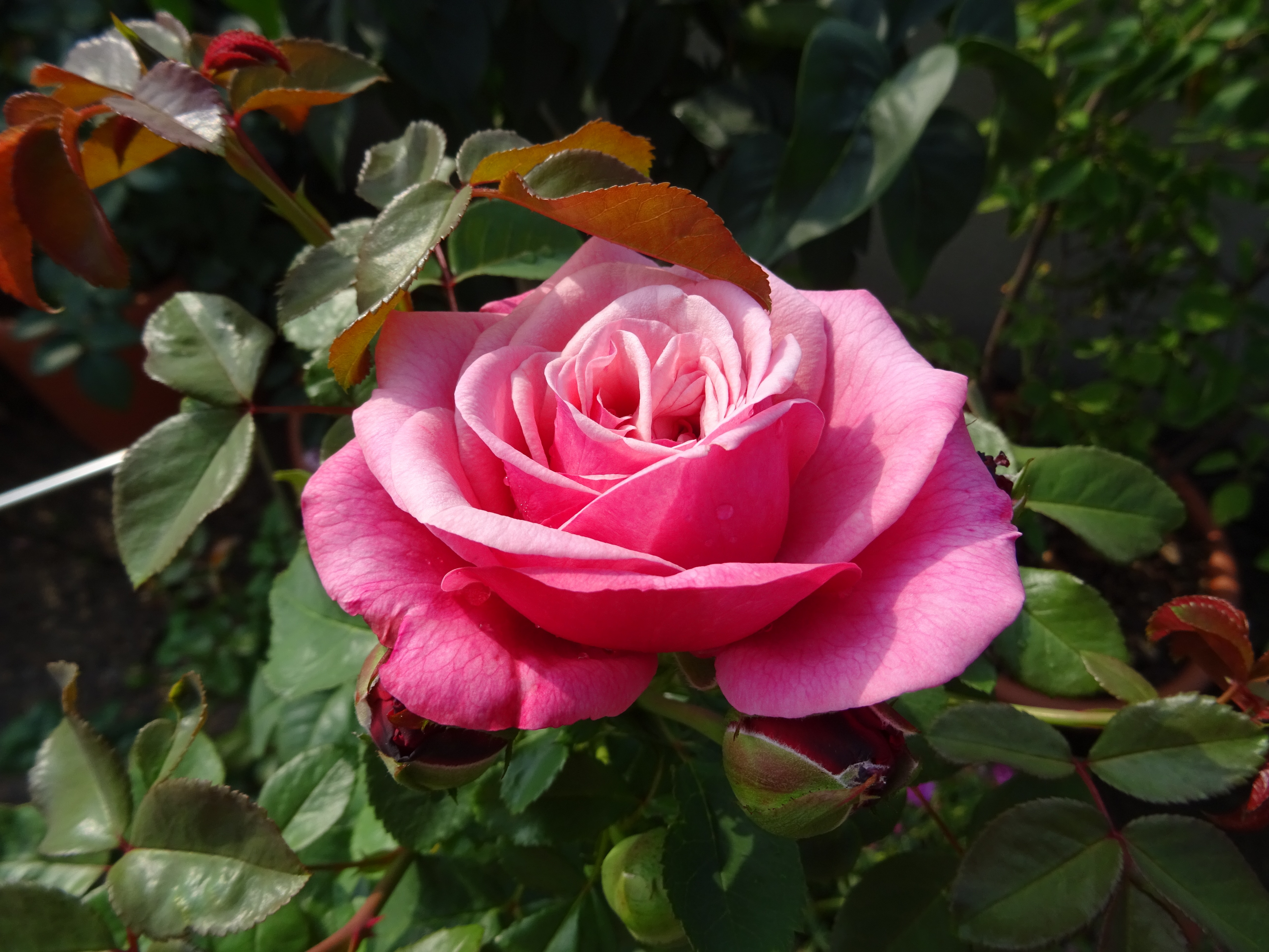 Edelrose Wildberry, offene Blüte