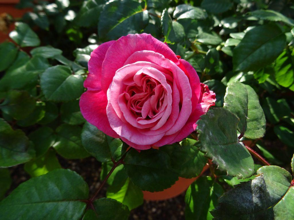 Edelrose Wildberry, offene Blüte, Aufsicht