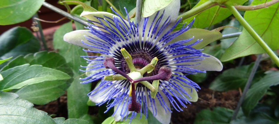 Passiflora Damsels Delight