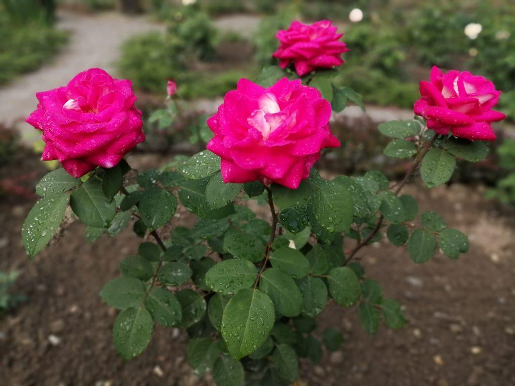 Rose Acapella typisch einzeln stehende Blüten