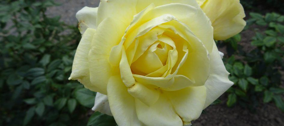 Limone einzelne Blüte