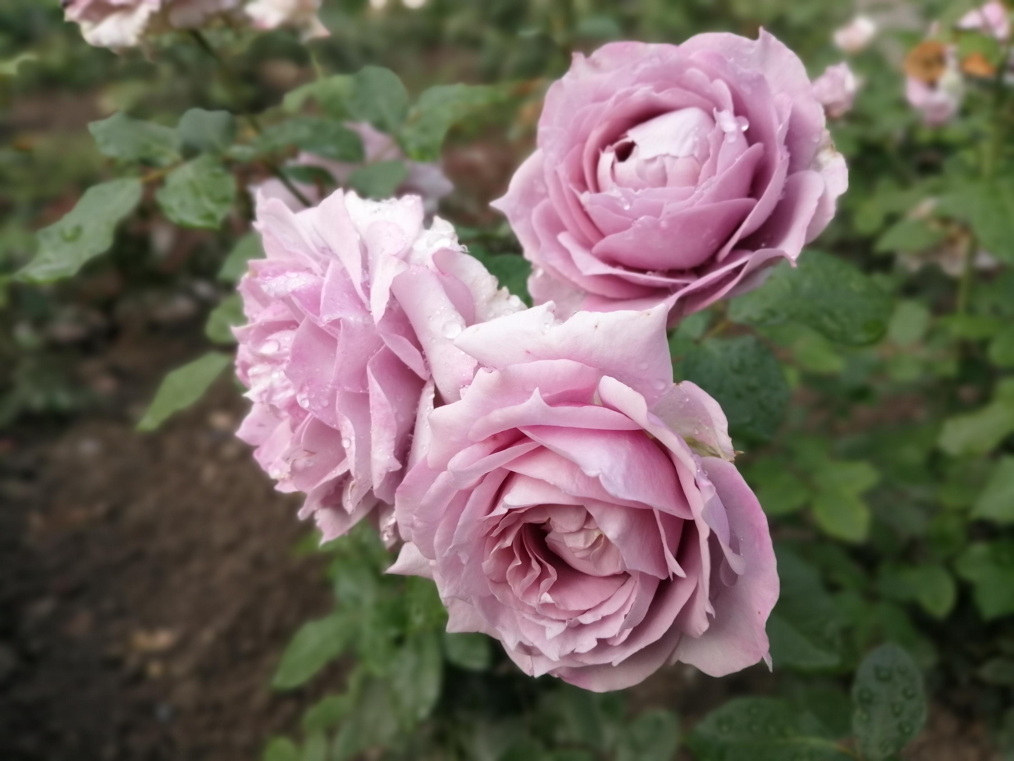 Rose Novalis Blütengruppe