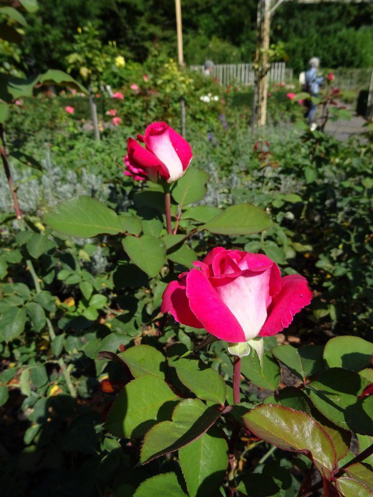 Acapella zwei sich öffnende Blüten