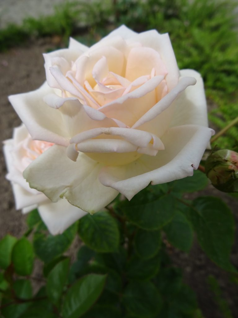 Anastasia perfekte Blüte