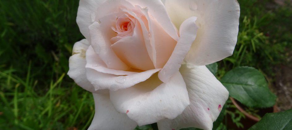 Anastasia offene Blüte