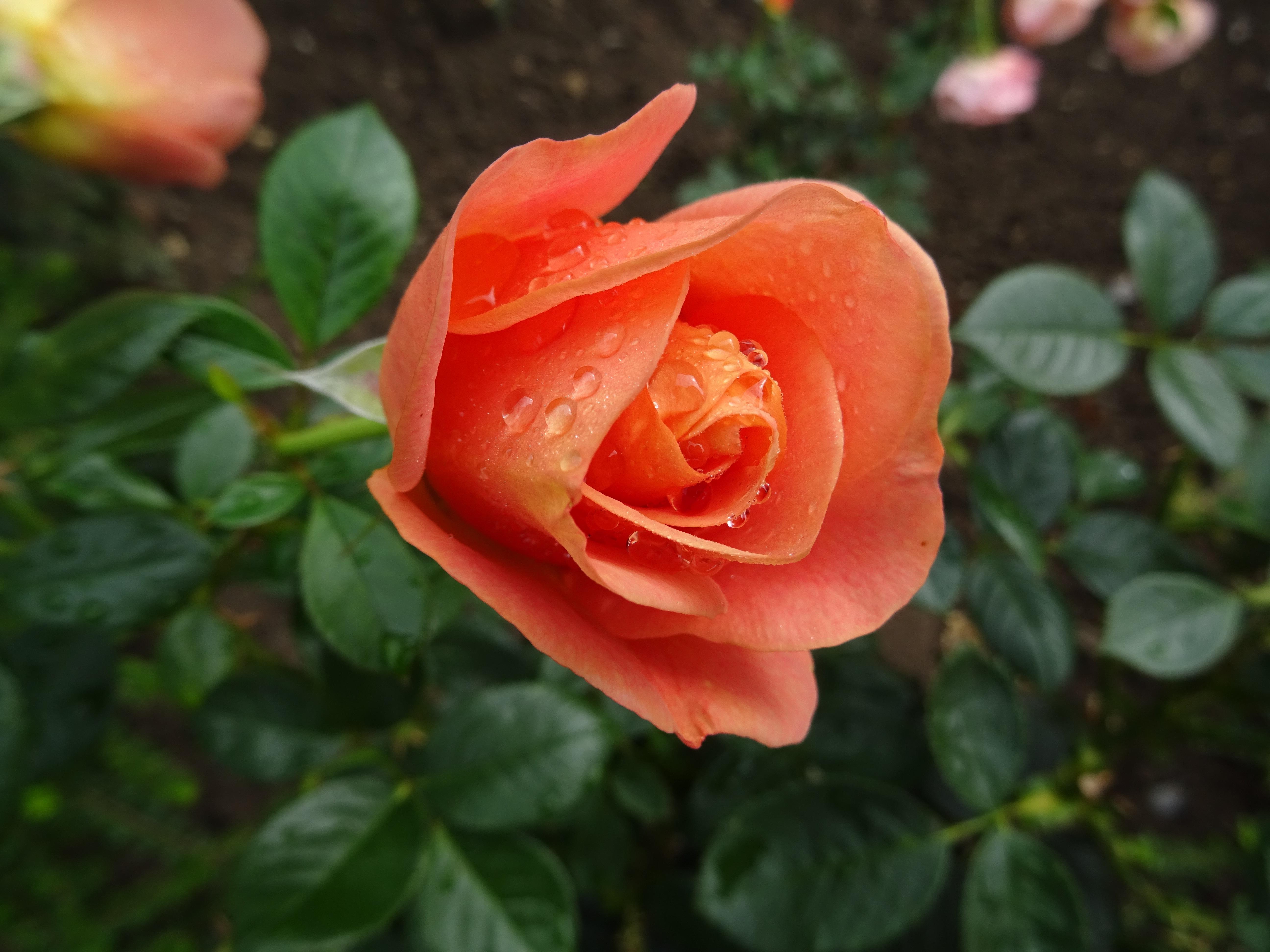 Bengali Edelrose orange