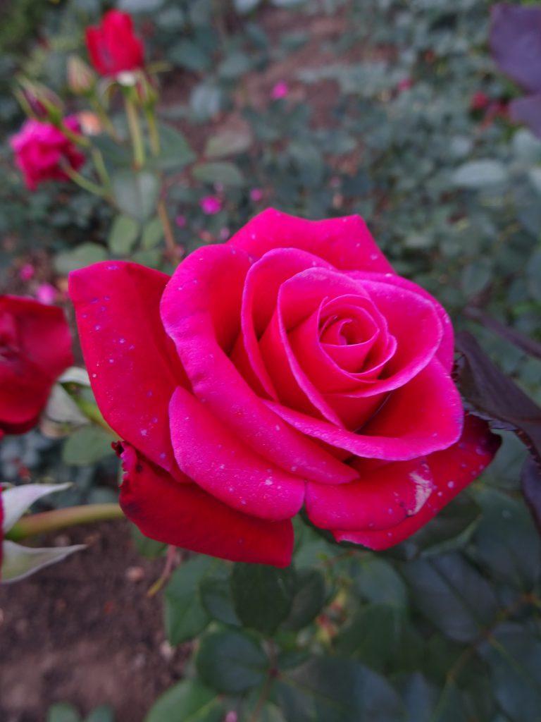 Charisma elegante Edelrose