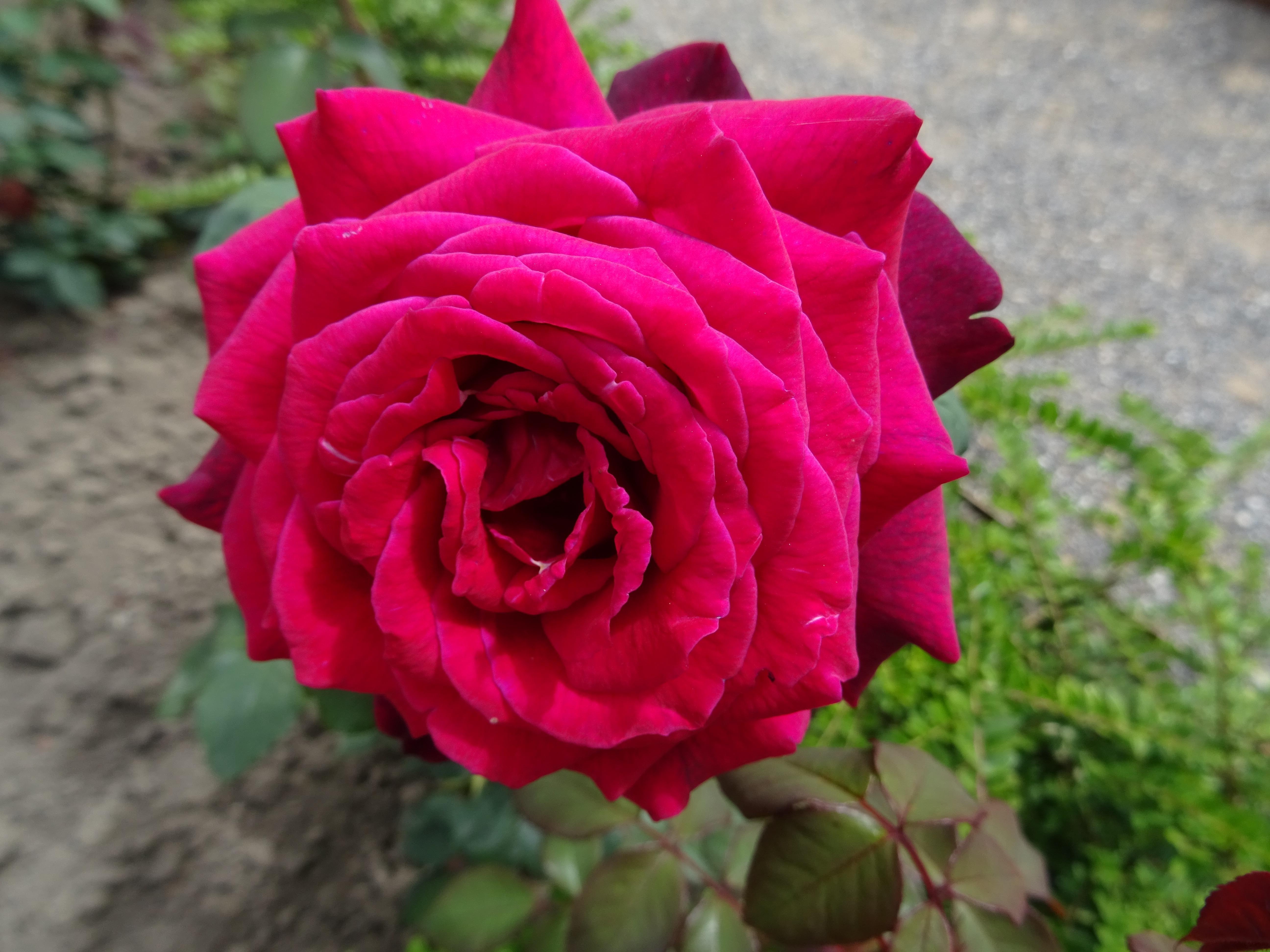 Gräfin Diana offene Blüte