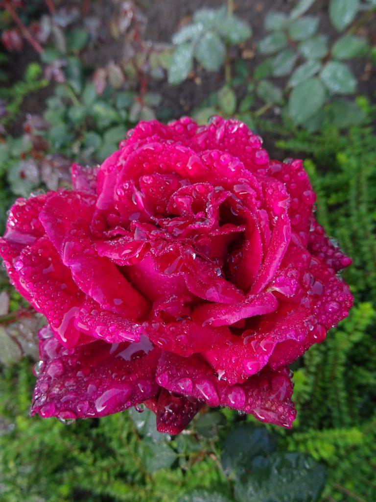 Gräfin Diana regenfeste Blüte