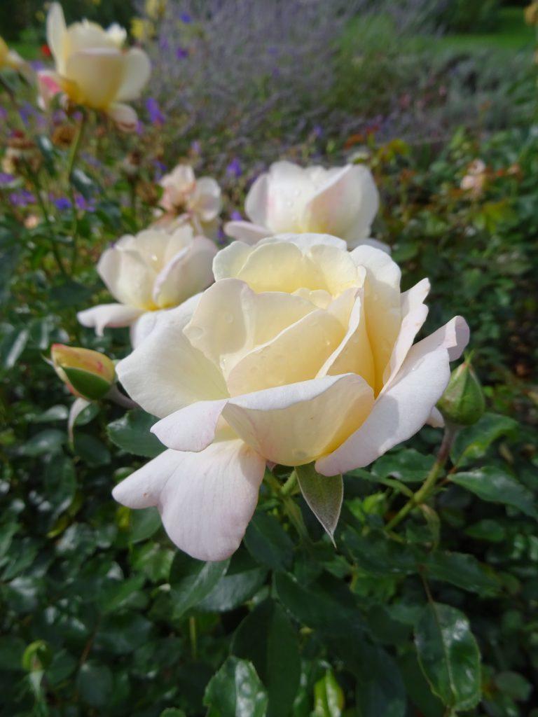 Hermann-Hesse-Rose elegante Blüte